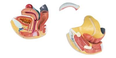 Anatomisch Model Vrouwelijke Geslachtsorganen, 4-delig