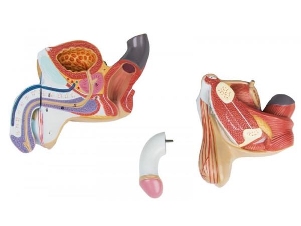 Anatomisch Model Mannelijke Geslachtsorganen, 4-delig