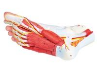 Anatomisch Model Voet, 9-delig