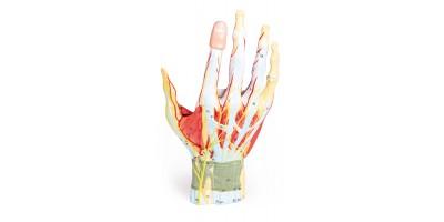 Anatomisch Model Hand, 7-delig
