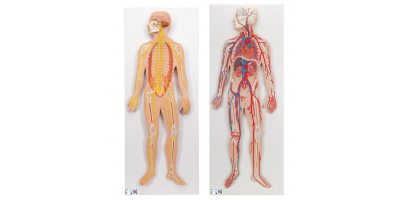 Anatomie Set Zenuw- en Bloedsomloopsysteem