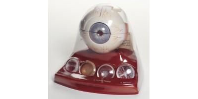 Anatomisch Model Cataract (Staar)