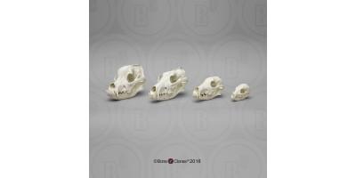 Hondachtigen Schedel Set (4 stuks)