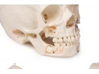 Anatomie Model Schedel Kind Deluxe, 14-delig