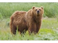 Grizzlybeer Schedel Replica, XL