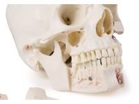 Anatomie Model Schedel Deluxe, 14-delig