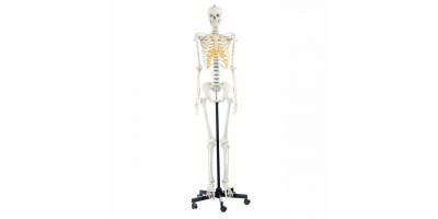 Vrouwelijk Skelet Model