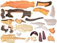 4D Anatomie Krokodil, 26-delig, 38 cm