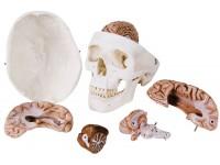 Standaard schedel met hersenen