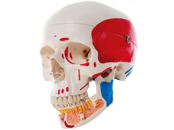 Gekleurde schedel met opengewerkte onderkaak