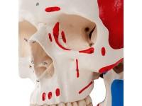 Standaard schedel, gekleurd 3-delig