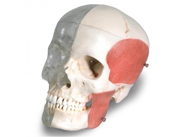 BONElike™ Schedel - Gecombineerd Transparant/benige schedel, 8-delig