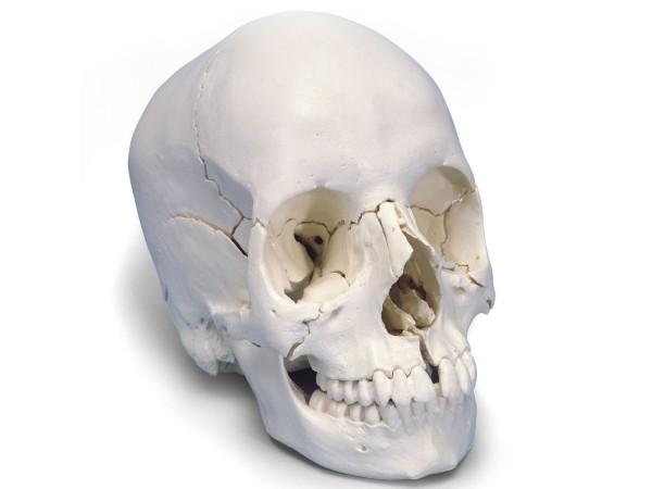 Didactische schedel, niet gekleurd, 22 delig