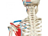 Skeletten: Skelet met aanspierduiding