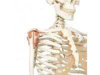 Skeletten: Skelet met Ligamenten