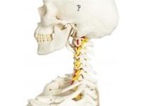 Skeletten: Flexibel Skelet