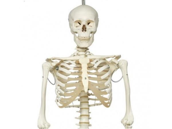 Skelet fysiologisch model