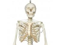 Functioneel Fysiologisch Skelet, hangend