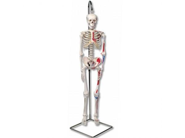 geavanceerd 80cm skelet, hangend & spieraanduidingen