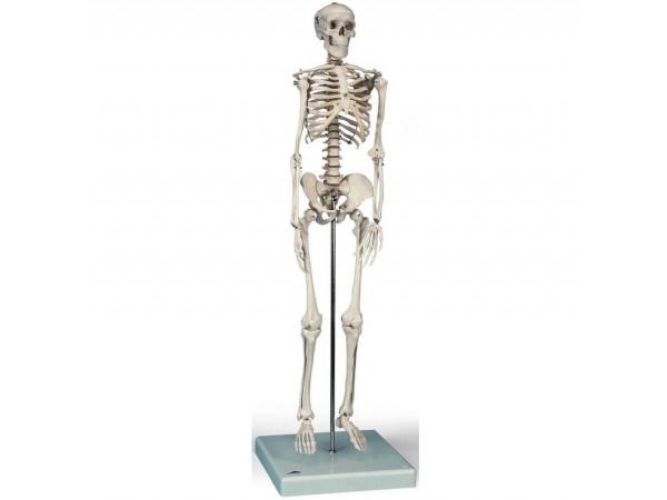 Skeletten: geavanceerd 80 cm skelet