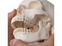 Standaard schedel, 3-delig