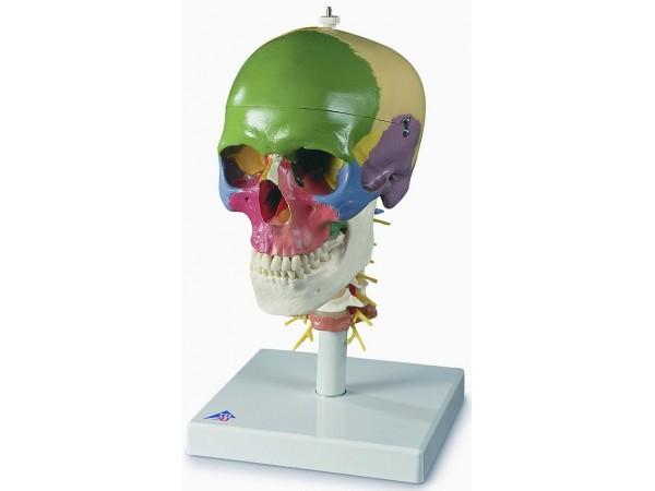 Didactische schedel op cervicale wervelkolom