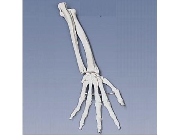 Onderarm-skelet, flexibel gemonteerd