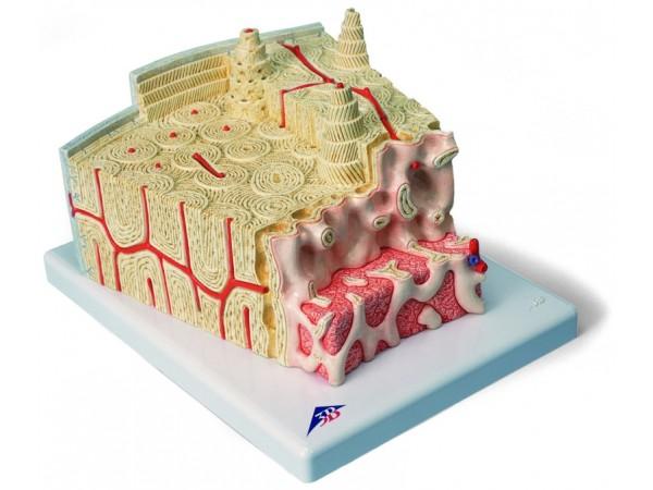 MicroAnatomie Botstructuur, 80x vergroot