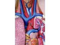 Torsomodellen: Classic unisex torso, 12-delig rompmodel
