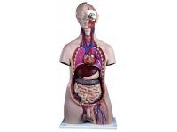 Torsomodellen: Mannelijk deluxe torso, 20 delig rompmodel