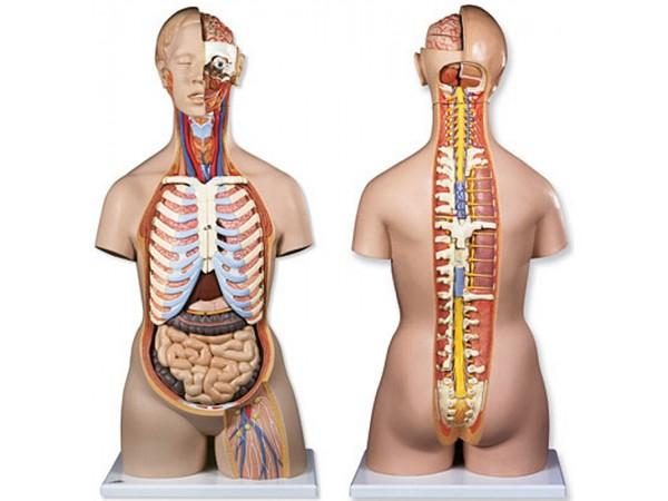 Torsomodellen: Geslachtsloze torso open rug, 21 delig  rompmodel