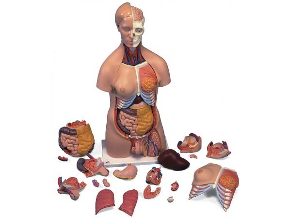 Torsomodellen: Deluxe man/vrouw torso, 22 delig rompmodel