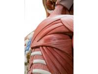 Torsomodellen: Deluxe spieren torso, 31-delig rompmodel