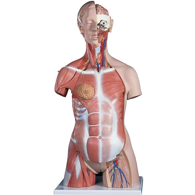 Tolle Torso Anatomie Bilder - Anatomie Ideen - finotti.info