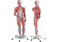 Tweeslachtig Spieren model, 45 delig