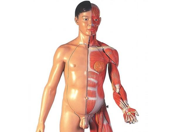 Twee-slachtig Aziatisch Spieren model, WARE GROOTTE