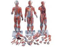2-slachtig Spieren model met inwendige organen, 33-delig