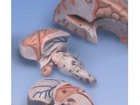model Hersenen deluxe, 8-delig