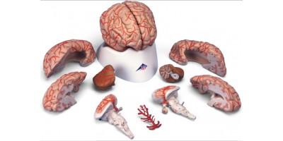model Hersenen met slagaderen, 9-delig