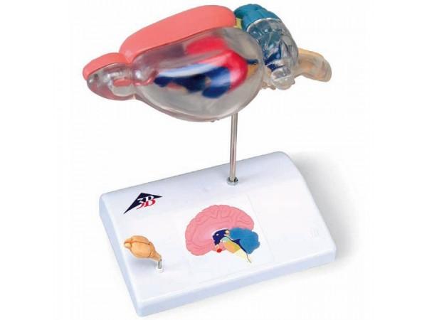 model Rat-Hersenen, vergelijkende anatomie