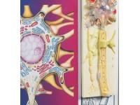 Fysiologie van de zenuwen, set