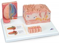 Tong micro-anatomie model