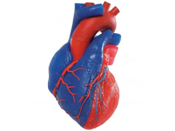 Hartmodel, zuurstofarm/rijk bloed