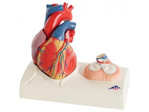 Hartmodel & hartkleppen