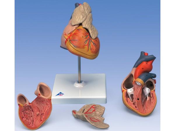 Klassiek hartmodel met thymus