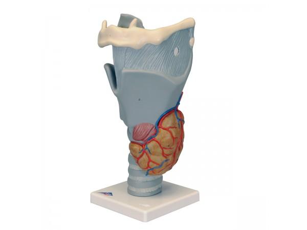 Functioneel Strottenhoofd, larynx, 2.5x vergroot