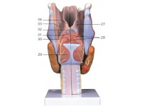 Larynx / Strottenhoofd, 2x ware grootte, 7-delig