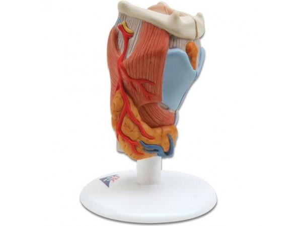 Larynx / Strottenhoofd, 2-delig