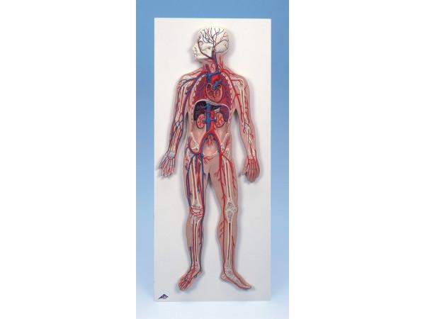 Bloedsomloop systeem