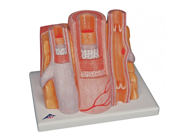 Micro anatomie slagader en ader